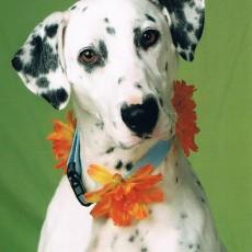 Dalmatian Rescue of Illinois