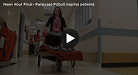 Paralyzed Pit Bull