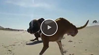 Two-Legged Boxer Runs on the Beach for the First Time