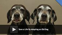 adopting an old dog