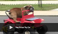 dog driving car video
