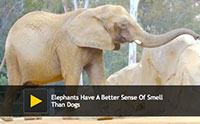 Elephants Have A Better Sense Of Smell Than Dogs