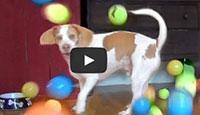 dog get 100 balls