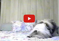 Dog Jumps in Bed Head First