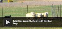 Secrets Of Herding Dogs