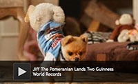 Jiff The Pomeranian Lands Two Guinness World Records