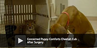 Concerned Puppy Comforts Cheetah Cub After Surgery