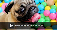 Grover the Pug Has Fun in the Ball Pit