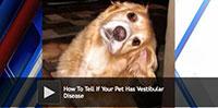 How To Tell If Your Pet Has Vestibular Disease