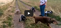 Wheelchair dogs play fetch