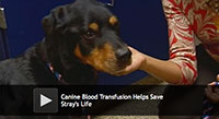 Canine Blood Transfusion Helps Save Stray's Life
