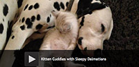 Kitten Cuddles with Sleepy Dalmatians