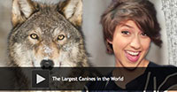 The Largest Canines in the World