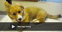 Why Dogs Hiccup