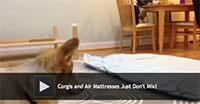 Corgis and Air Mattresses Just Don't Mix!