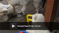 fluffy white puppy driving a toy car