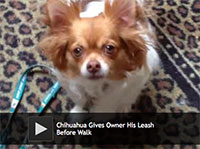Chihuahua Gives Owner His Leash Before Walk