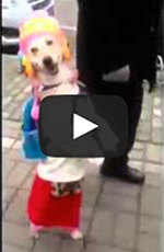 Dog Walks Down The Street Like A Little Girl
