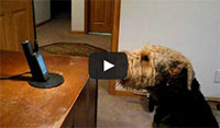 Stanley the Singing Airedale Talks to Mom on the Phone