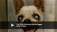 Tiny Blind Chihuahua Has the Biggest Smile in Town