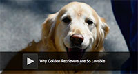 Why Golden Retrievers Are So Lovable