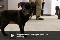 Puppies Predict the Super Bowl XLIX Winners