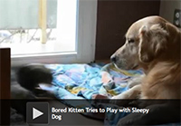 Bored Kitten Tries to Play with Sleepy Dog