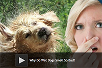 Why Do Wet Dogs Smell So Bad