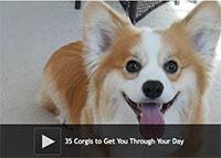 35 Corgis to Get You Through Your Day