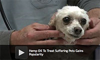 Hemp Oil To Treat Suffering Pets Gains Popularity