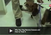 Why Your Dog Reverse Sneezes and How to Treat It
