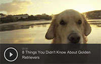 8 Things You Didn't Know About Golden Retrievers