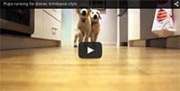 Watch Golden Retriever Puppies Grow Up