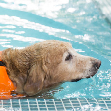 3 Ways to Keep Your Senior Dog Safe Around the Pool