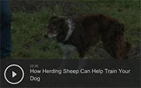 How Herding Sheep Can Help Train Your Dog