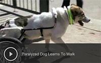 Paralyzed Dog Learns To Walk