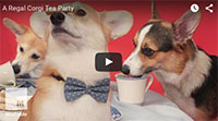 Corgis Have A Tea Party To Celebrate The Queen's Historic Reign