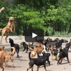 Watch 450 dogs play at Serbian shelter