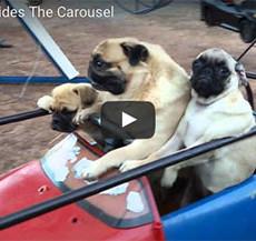 Pug Family Riding a Carousel