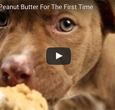 Puppies Eating Peanut Butter