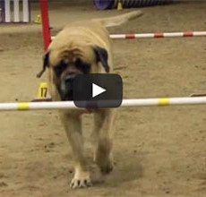 slow mastiff doing agility
