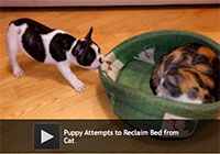 Puppy Attempts to Reclaim Bed from Cat Video