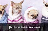 Does Your Dog Really Need a Sweater