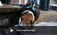 Is Your Dog Overweight?