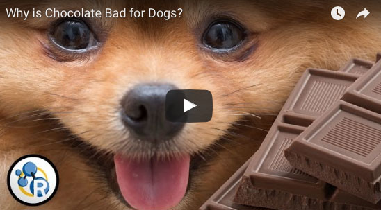 Why is chocolate so bad for dogs?