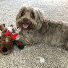 Ollie Dog Playing